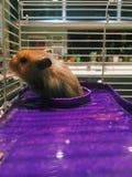 Hamster Lizenzfreie Stockbilder