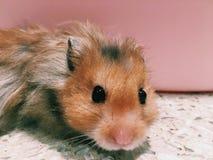 Hamster Imagem de Stock Royalty Free