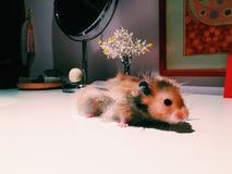 Hamster Fotografia de Stock