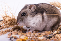 Hamster. With corm on white background Stock Image