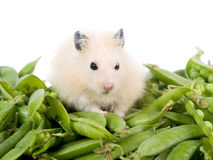 Free Hamster And Peas Royalty Free Stock Photo - 9108255