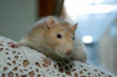 Hamster at the animal shelter of Lugano. On Switzerland stock photos