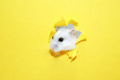 Hamster Appearance Stock Photography