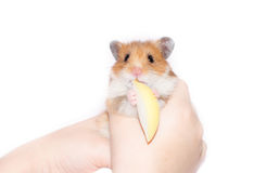 Hamster with apple Royalty Free Stock Photography