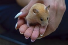 Hamster in the arms of an adult girl stock images