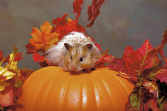 Hamster Atop a Pumpkin Royalty Free Stock Photography