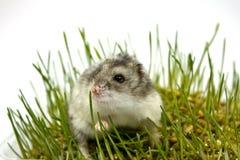 Hamster auf dem Gras Stockbild