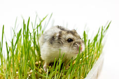Hamster auf dem Gras Lizenzfreie Stockfotos