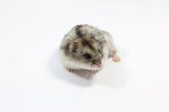 Hamster auf dem Weiß Stockbilder