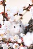 Hamster auf einem Baum unter blühenden Niederlassungen Stockfotografie