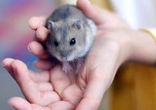 Hamster auf Hand des Kindes Lizenzfreies Stockfoto