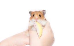 Hamster avec la pomme Photographie stock libre de droits