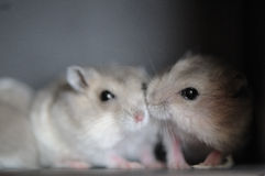 Hamster babies 7 Stock Photo
