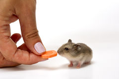Hamster babies royalty free stock images