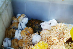Hamster babies. Dwarf hamster babies play with stock photography