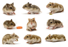Hamster collage sets Royalty Free Stock Images