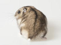 Hamster - back side Royalty Free Stock Image