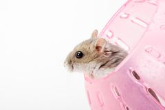 Hamster in ball. One Dzhungarian Hamster (Phodopus Sungorus) in purple ball Royalty Free Stock Photos