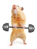 Hamster with bar Stock Photography