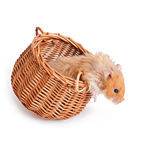 Hamster in a basket  Royalty Free Stock Photos