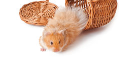Hamster in a basket  Royalty Free Stock Photo