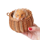 Hamster in a basket  Royalty Free Stock Image