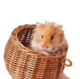 Hamster in a basket  Stock Photos