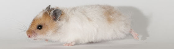 Hamster. Beautiful red and white Syrian hamster on white background stock photos