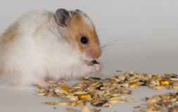 Hamster. Beautiful red and white Syrian hamster on white background stock photography