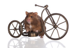 Hamster on a bicycle Royalty Free Stock Photos