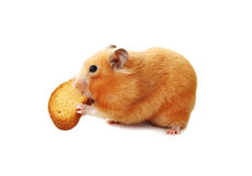 Hamster biting biscuit. Stock Photography