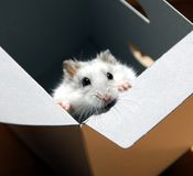 Hamster in a box Royalty Free Stock Image