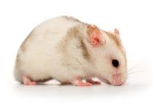 Hamster branco Fotografia de Stock Royalty Free