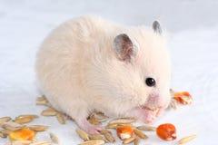 Hamster branco Imagem de Stock