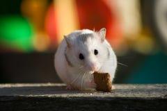 Hamster branco Fotos de Stock Royalty Free
