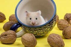 Hamster branco novo no copo e nas nozes do T. Fotos de Stock