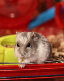 Hamster in a cage Stock Photography
