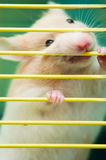 Hamster In Cage. A hamster biting its cage to break free Royalty Free Stock Photo