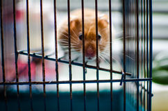 Hamster. In cage, animals, mammal, beast, cage Stock Image