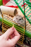 Hamster. In the cage with food Royalty Free Stock Images