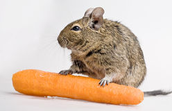 Hamster with carrot Stock Photos