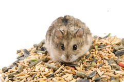 Hamster with cereals Royalty Free Stock Images