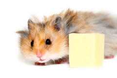 Hamster and cheese Stock Photography