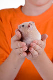 Hamster in the children's hands Stock Images