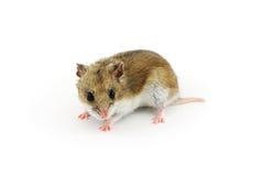 Hamster chinês Imagem de Stock