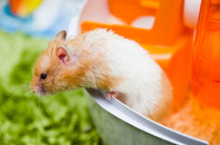 Hamster Climbing Out Royalty Free Stock Photography