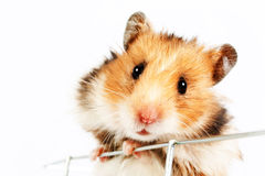Hamster climbs up the cage Royalty Free Stock Images
