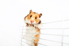 Hamster climbs up the cage Royalty Free Stock Photography