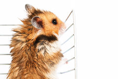 Hamster climbs up the cage Royalty Free Stock Photo