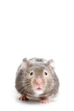 Hamster close up Stock Image